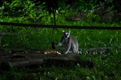 lemur eating his lunch stock images