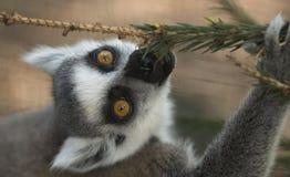 Lemur Royalty Free Stock Photo