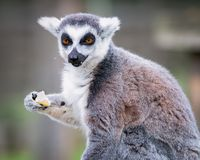 Lemur eating. Portrait of Ring-tailed lemur in a safari park sitting and eating an apple Stock Photos