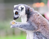 Lemur eating. Portrait of Ring-tailed lemur in a safari park eating and staring at an apple Royalty Free Stock Photos