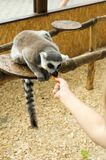 Lemur eats carrots from the hands of man. Lemur in the zoo. Royalty Free Stock Photo