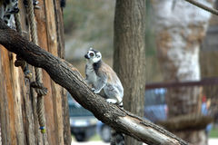Lemur in einem Wald Lizenzfreies Stockfoto