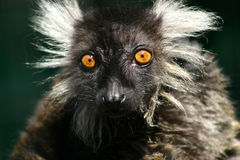 Lemur Einstein. A Black and White Ruffled Lemur a little shocked at the camera Stock Image