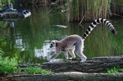 Lemur en el parque zoológico Fotografía de archivo libre de regalías