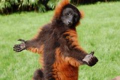 Lemur en el sol Imagenes de archivo
