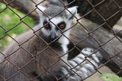 Lemur en la célula Foto de archivo libre de regalías