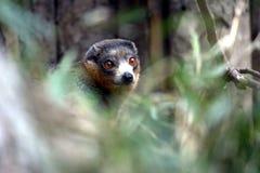 Lemur en un bosque Fotos de archivo libres de regalías