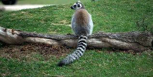 Lemur en un bosque Imágenes de archivo libres de regalías