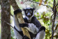 Lemur. Endemic indri lemur in natural habitat. Madagascar Royalty Free Stock Photography