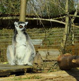 Lemur enjoy the sun. Stock Photo