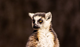 Lemur Eyes. Beautiful face of a Lemur Stock Photos