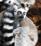 Lemur eyes wide open Stock Image