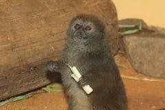 Lemur för gummilackaAlaotra bambu Arkivbild