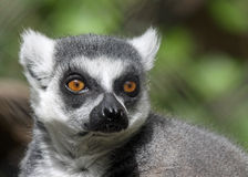Lemur Face Royalty Free Stock Photography