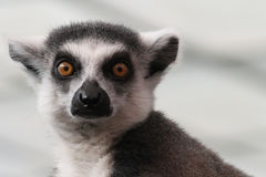 Lemur face. The face of an alert Lemur Royalty Free Stock Images