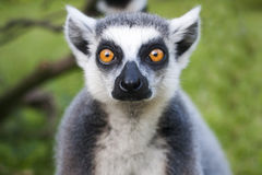 Lemur face close-up stares on people. Royalty Free Stock Photos