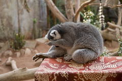 Lemur facepalm Stock Photos