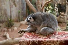 Lemur facepalm Stock Photos