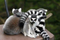 Lemur Family Stock Photography