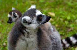 Lemur family. A lemur mother is carrying her child Royalty Free Stock Photo