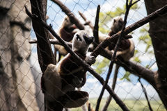 Lemur family in Bronx Zoo. Stock Images