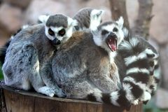 Lemur Family Group Royalty Free Stock Images