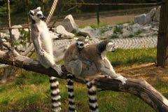 Lemur family Stock Image