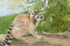 Lemur family in the open zoo Stock Photography