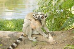 Lemur family in the open zoo Stock Photo