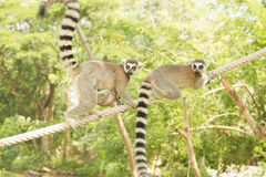 Lemur family in the open zoo Stock Images