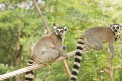 Lemur family in the open zoo Royalty Free Stock Image