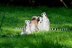 Lemur family Royalty Free Stock Photo