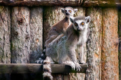 Lemur family. Picture of a mother lemur with her baby Stock Images