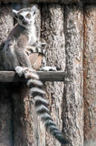 Lemur family. Picture of a mother lemur with her baby Stock Photography