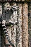 Lemur family. Picture of a mother lemur with her baby Royalty Free Stock Photos