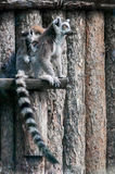 Lemur family. Picture of a mother lemur with her baby Royalty Free Stock Images