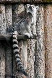 Lemur family. Picture of a mother lemur with her baby Royalty Free Stock Photo