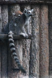 Lemur family. Picture of a mother lemur with her baby Stock Photos