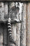 Lemur family. Picture of a mother lemur with her baby looking up Royalty Free Stock Images