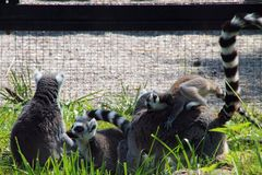 Lemur Family is playing in the sun. Lemur Family plays in the Danish zoo under the sun`s rays stock photography
