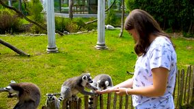 Lemur is Feeding, yellow eyes,Keeping feed by Hand, zoo, summer day, outdoors, holidays in Disneyland. Lemur is Feeding, yellow eyes,Keeping feed by Hand, zoo stock video footage