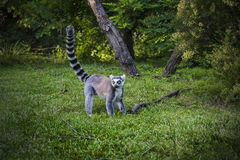 Lemur in forest with long striped tail. Stock Images