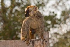Lemur fronteado vermelho de Brown Fotografia de Stock