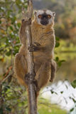 Lemur fronteggiato rosso del Brown Fotografie Stock