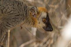 Lemur fronteggiato rosso del Brown Fotografia Stock