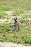 Lemur sitting on the grass  Stock Images