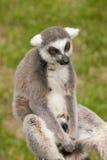 Lemur furado Foto de Stock Royalty Free