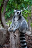 Lemur. Gorilla in the zoopark of Valencia Stock Images