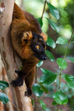 Lemur grasping onto a tree. A picture of the Hybrid Crown Lemur + Black Lemur (no scientific classification) grasping the tree as he looks out across the reserve Royalty Free Stock Photography