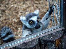 Lemur Greetings Royalty Free Stock Images